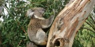 Phillip Island Day Tour -Penguins, Kangaroos and Koalas image 2