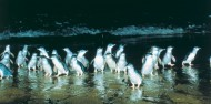 Phillip Island Penguins & Wildlife Day Tour image 7
