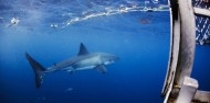 Shark Diving - Swim with Great Whites image 1