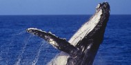 Whale Watching - Captain Cook Cruises image 1