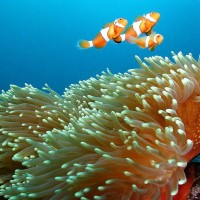 Nemo - famous on the Great Barrier Reef
