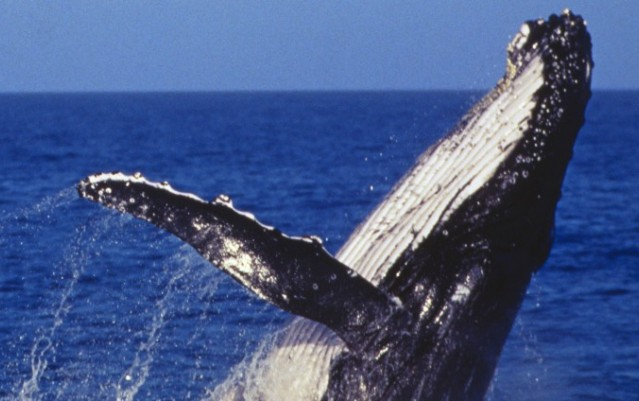 Whale Watching - Captain Cook Cruises - Sydney